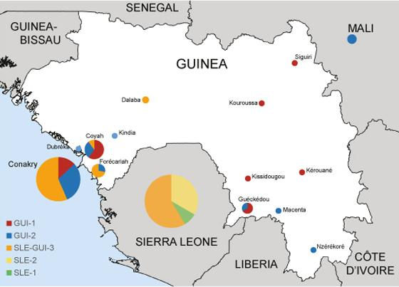 Representation of Ebola virus variants circulating in Guinea and Sierra Leone. Creative Commons - Nature