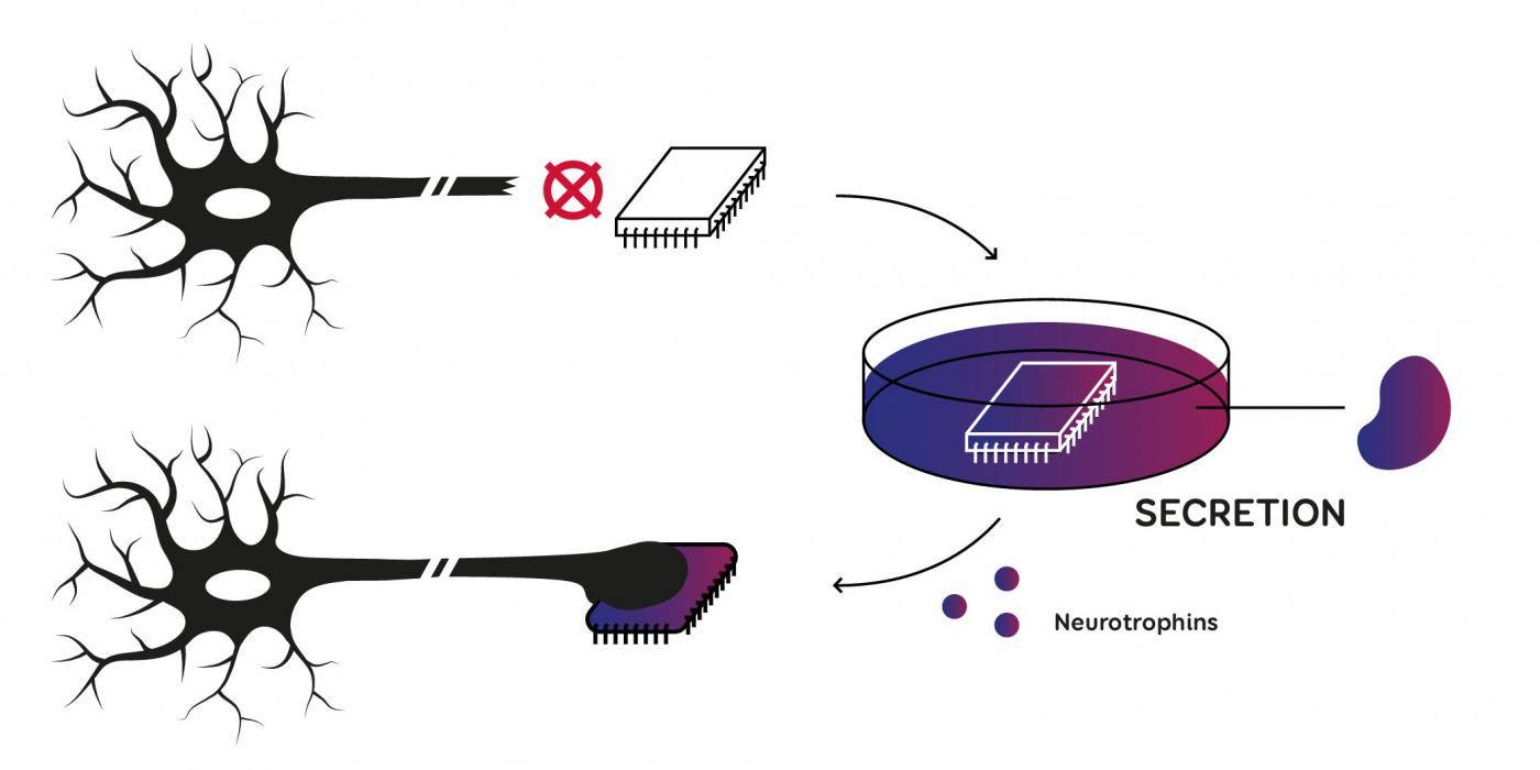 A biological interface for prostheses: the futuristic