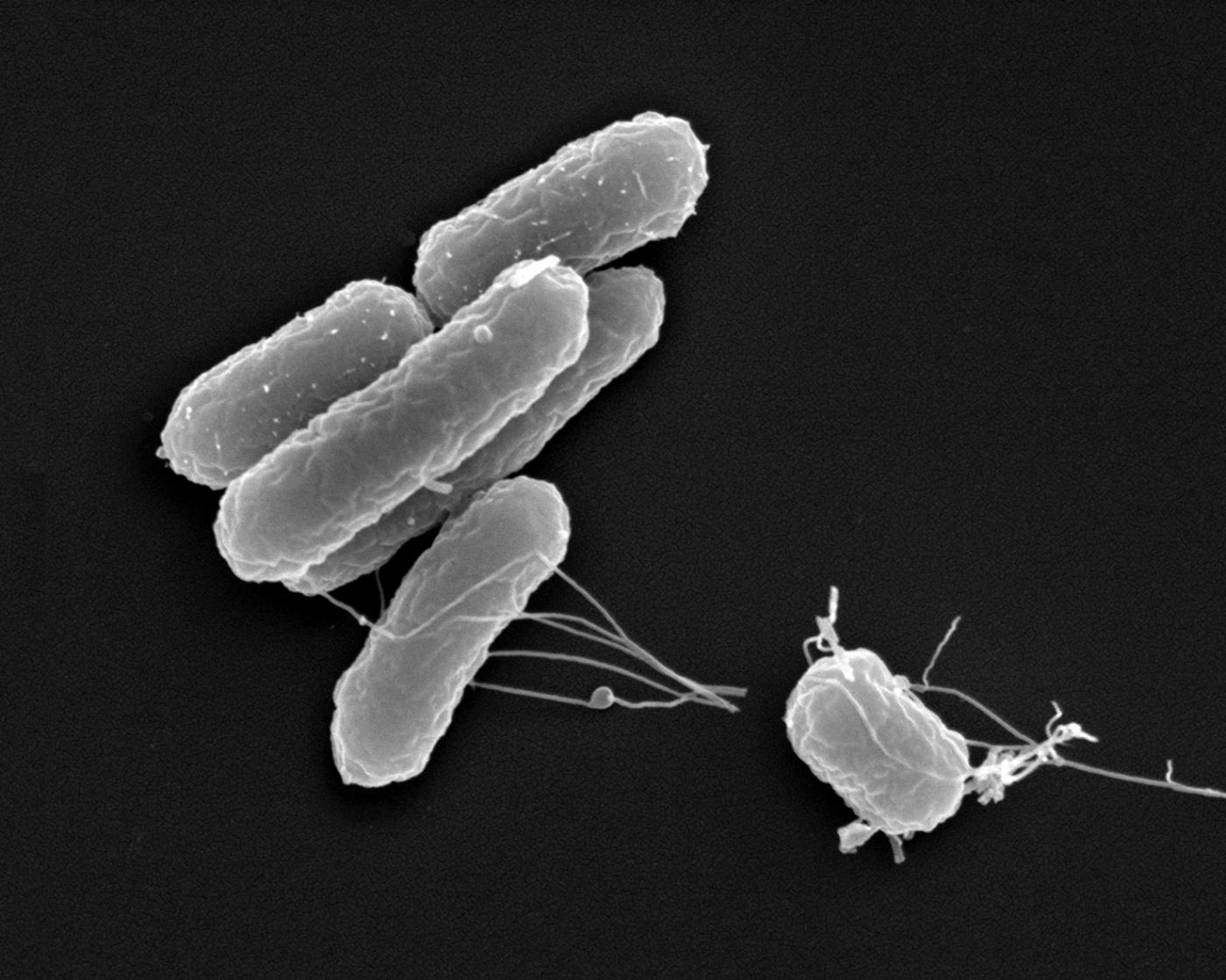 Salmonella is a genus of rodshaped bacillus Gramnegative bacteria of the family Enterobacteriaceae The two species of Salmonella are Salmonella enterica and