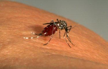 Aedes Aegypti - Institut Pasteur