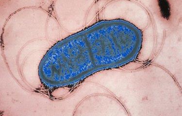 Serratia marcescens - Institut Pasteur
