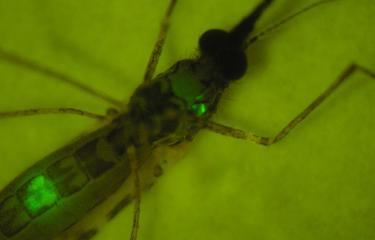 Anopheles stephensi infectée par Plasmodium berghei.