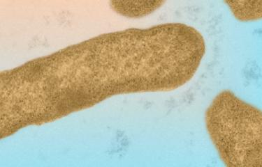 Elizabethkingia anophelis, microscopie électronique. © Institut Pasteur