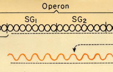 Schéma général d'un opéron. Archives Jacques Monod