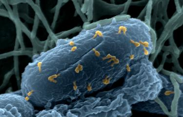 Bactériophage E. Coli - Institut Pasteur