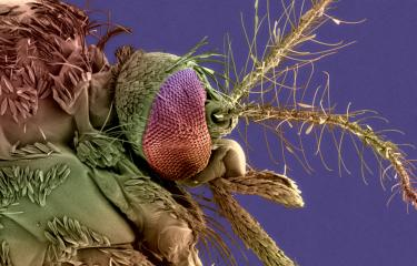 Aedes albopictus dengue chikungunya - Institut Pasteur