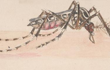 Stegomyia fasciata (Aedes aegypti) - Institut Pasteur