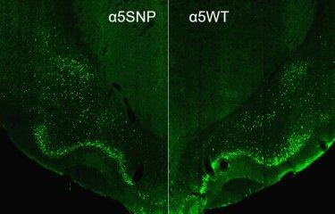mutation SNPα5 - tabac -alcool - Institut Pasteur