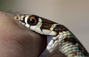 Morsure de serpent - Institut Pasteur