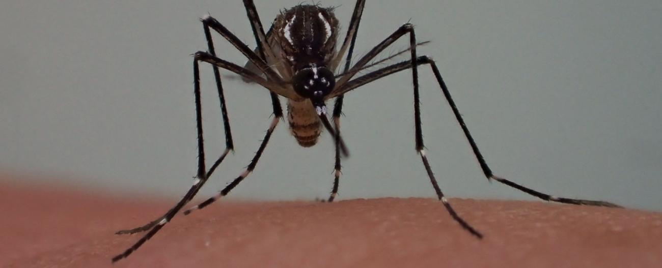 Aedes - Institut Pasteur